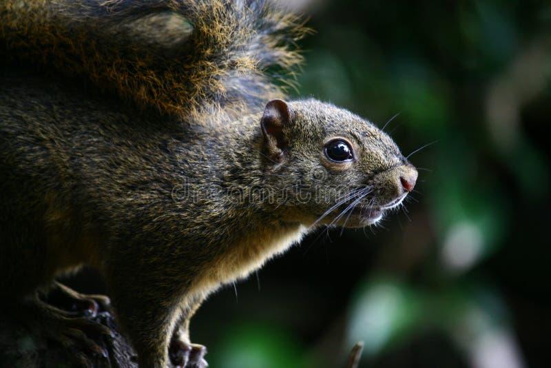 Sluit omhoog eekhoorn in Costa Rica-regenwoud met donkere bokehachtergrond stock foto
