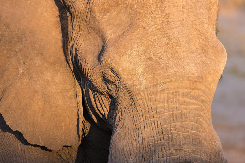 Sluit omhoog en portret van een reusachtige Afrikaanse Olifant die door warm zonsonderganglicht wordt geraakt Het wildsafari in h royalty-vrije stock afbeelding