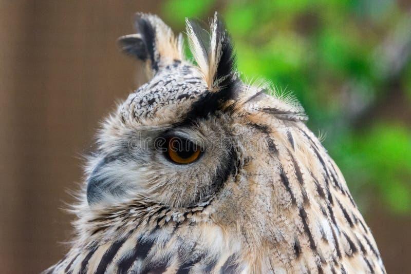 Sluit omhoog Europees-Aziatisch Eagle Owl Bubo-bubogezicht met oranje oog royalty-vrije stock foto's