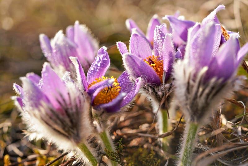 Sluit omhoog foto - purpere grotere pasquebloem - Pulsatilla-grandis - nat van ochtenddauw het groeien in droog gras stock foto