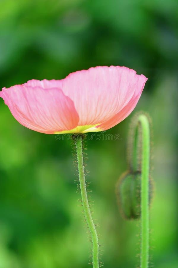 Sluit omhoog foto van een roze papaver; zachte groene achtergrond stock afbeeldingen