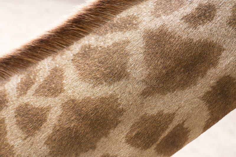 Sluit omhoog foto van hals van de giraf` s de lange woede royalty-vrije stock afbeelding