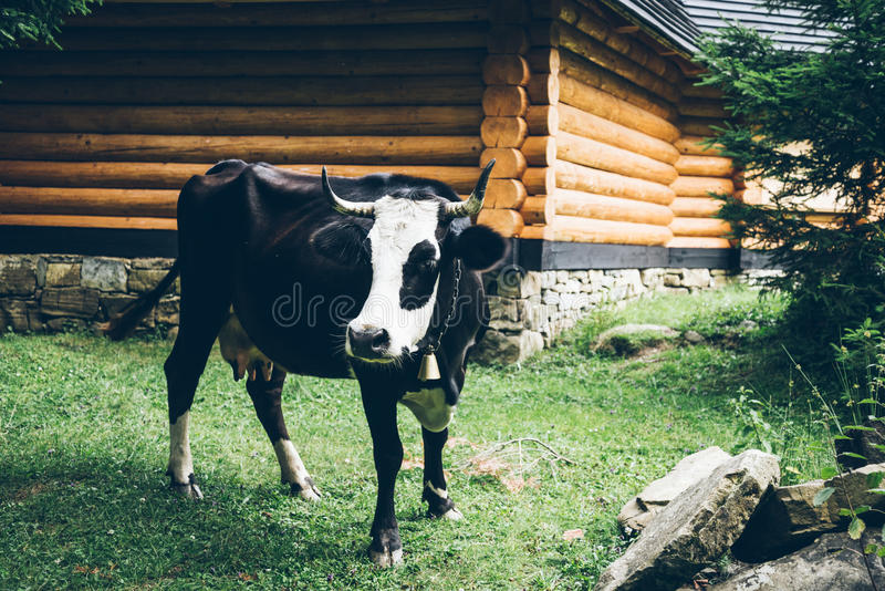 Sluit omhoog foto van koe met klok stock fotografie