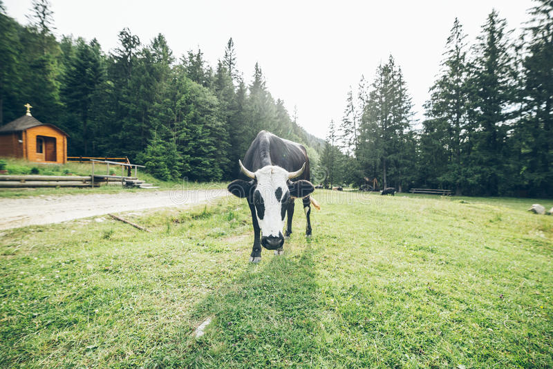 Sluit omhoog foto van koe met klok royalty-vrije stock afbeelding