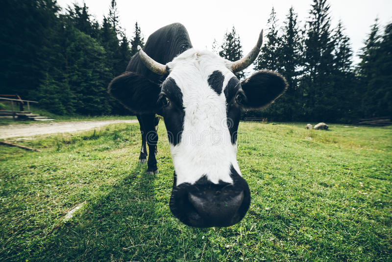 Sluit omhoog foto van koe met klok stock foto's