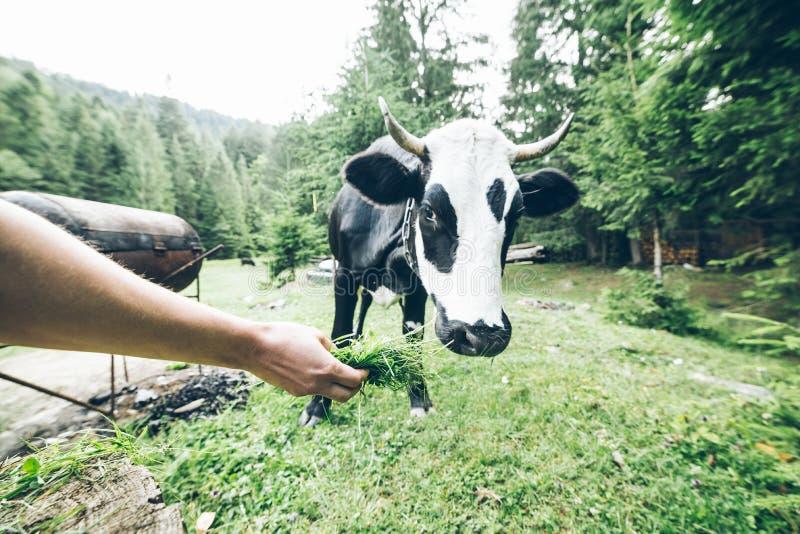 Sluit omhoog foto van koe met klok royalty-vrije stock foto's