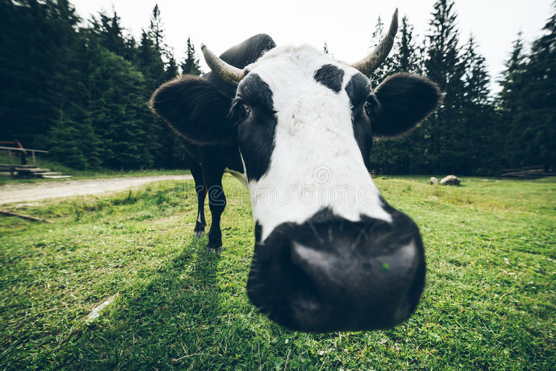 Sluit omhoog foto van koe met klok stock afbeeldingen