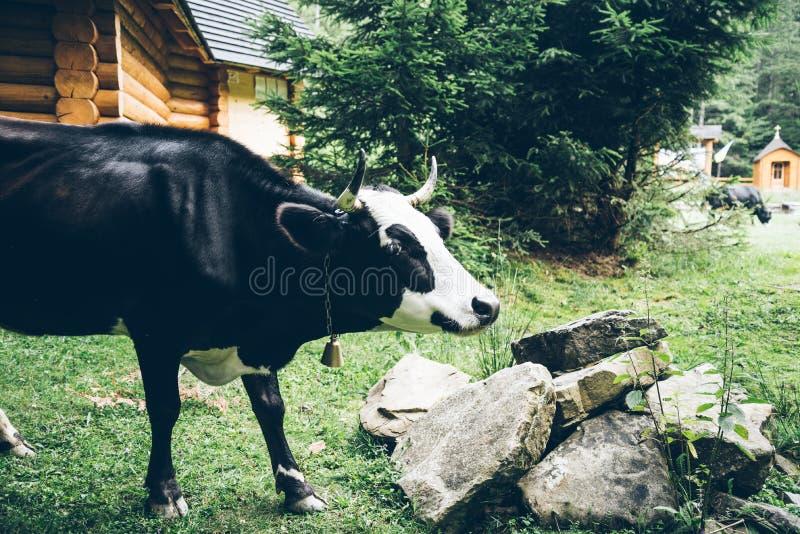 Sluit omhoog foto van koe met klok royalty-vrije stock foto