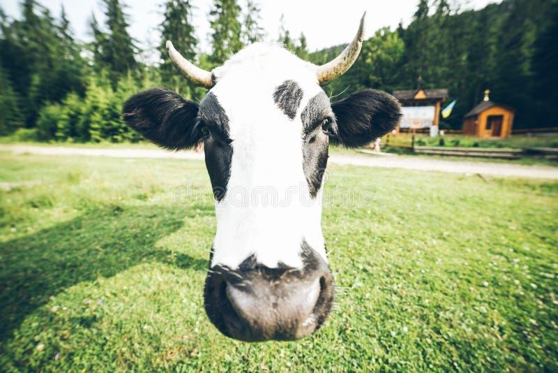 Sluit omhoog foto van koe met klok royalty-vrije stock fotografie