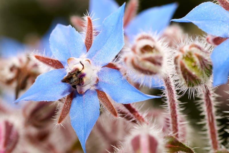 Sluit omhoog foto van wilde borage, Borago-officinalis, bloemen op een de lentegebied stock foto's
