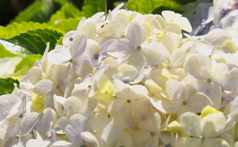 Sluit omhoog foto van witte nutteloos bloemen royalty-vrije stock afbeelding