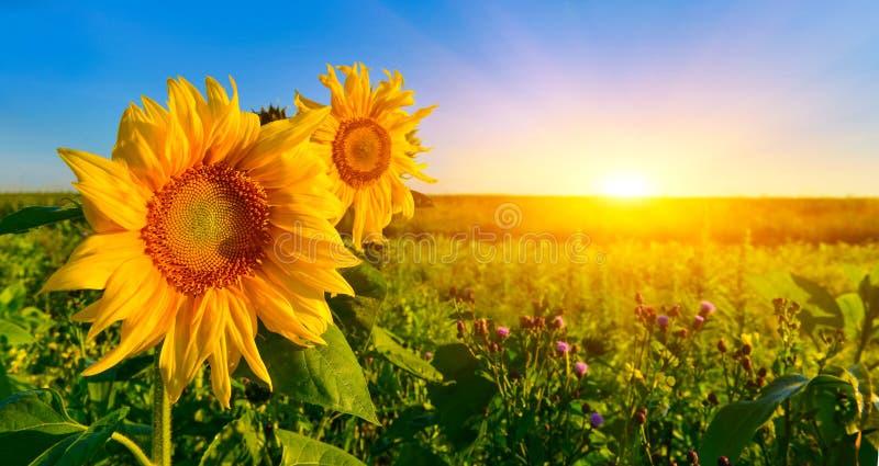 Sluit omhoog foto van zonnebloem bij zonsopgang in de zomer stock afbeeldingen