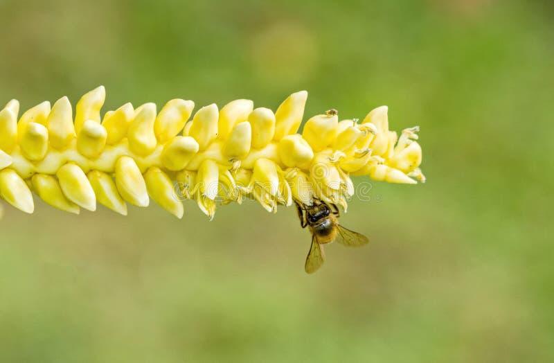 Sluit omhoog geel kokosnotenstuifmeel met vliegende bij stock afbeeldingen