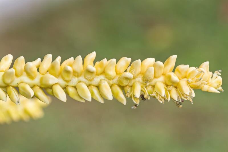 Sluit omhoog geel kokosnotenstuifmeel met vliegende bij stock foto