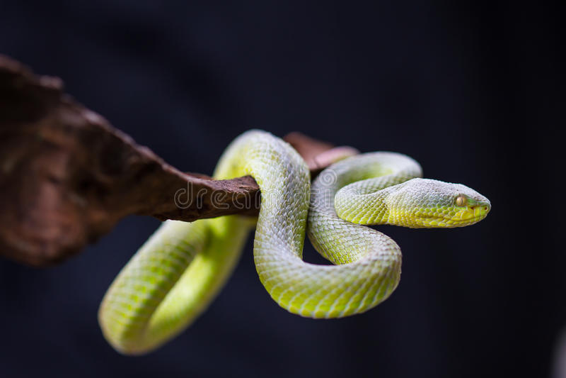 Sluit omhoog geel-Lipped Groene Pit Viper-slang royalty-vrije stock foto