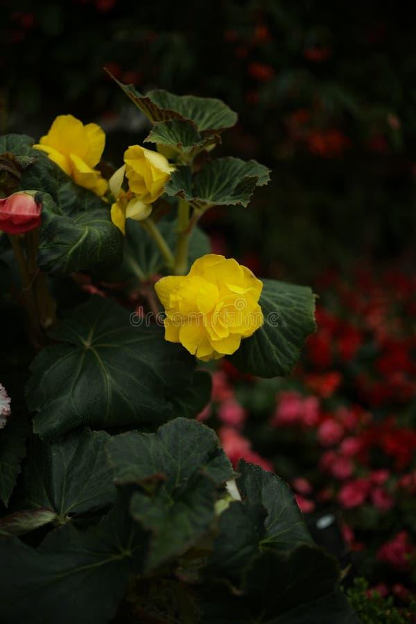 Sluit omhoog gele bloem en wat rode bokeh royalty-vrije stock foto's