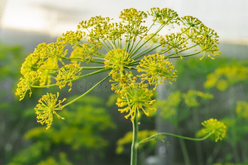 Sluit omhoog gele bloemen van dille in moestuin Tot bloei komende tak van Venkel Foeniculum vulgare Conceptie van kruiden en stock foto