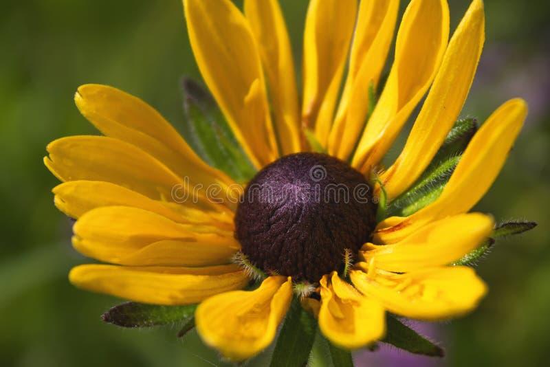 Sluit omhoog gele gekleurde bloembloei als kamille het groeien in de zomertuin stock fotografie