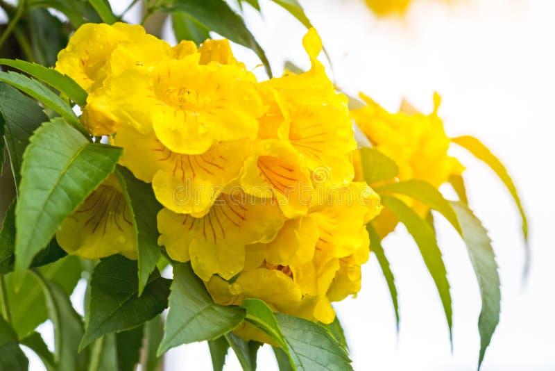 Sluit omhoog Gele oudere, Gele klokken, of Trumpetflower, Wetenschappelijke naam is Tecoma stans stock foto's