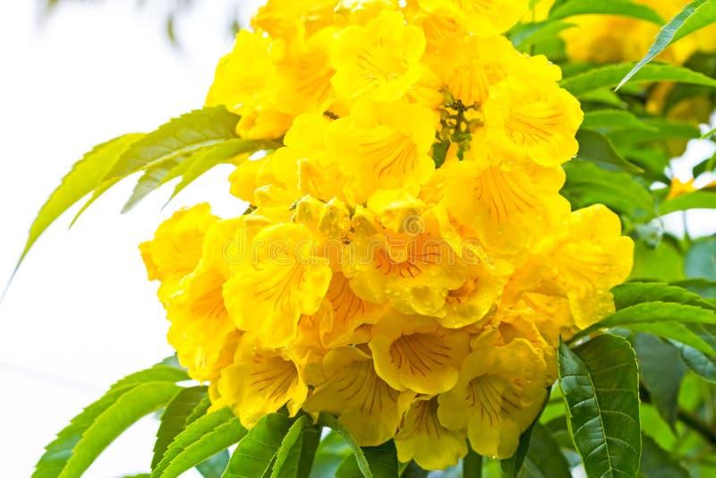 Sluit omhoog Gele oudere, Gele klokken, of Trumpetflower, Wetenschappelijke naam is Tecoma stans royalty-vrije stock fotografie