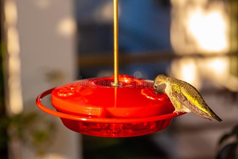 Sluit omhoog geschoten van een colibri het drinken nectar van een birdfeeder royalty-vrije stock afbeeldingen