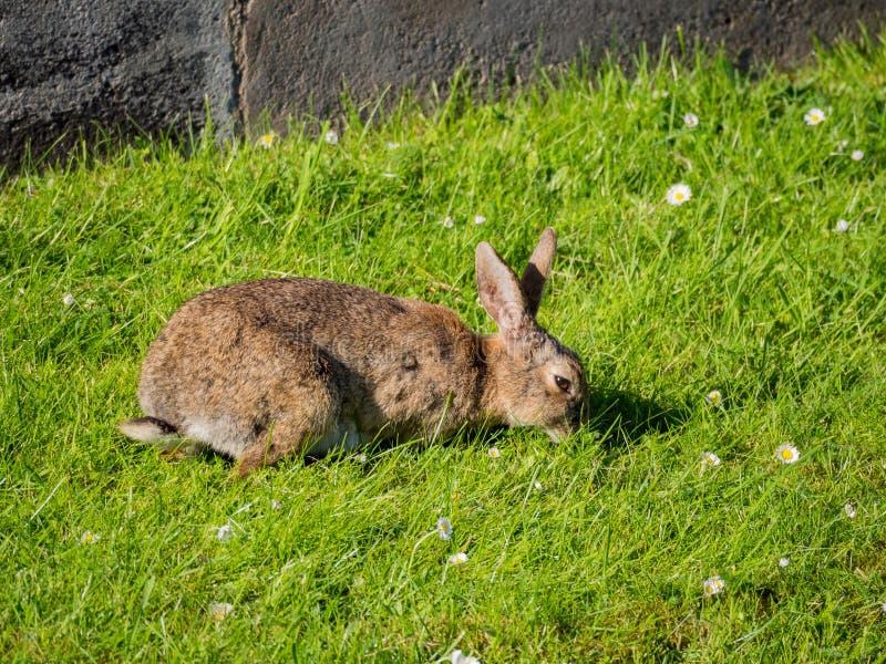 Sluit omhoog geschoten van een wild konijn die gras op het gebied eten stock afbeelding