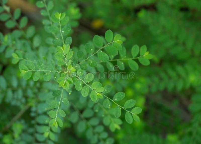 Sluit omhoog geschoten van gagel van de wind stonebreaker of zaad-onder-blad Phyllanthusniruri op grond van het bos in groene bac stock foto's