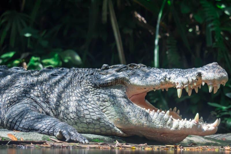 Sluit omhoog geschoten van het grote van de sungeibuaya of krokodil witte sluimeren stock foto's