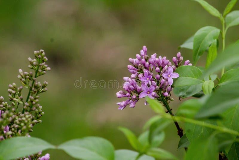 Sluit omhoog geschoten van violette seringen met doorbladert royalty-vrije stock afbeelding