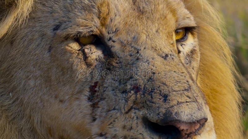 Sluit omhoog gezicht van wilde Afrikaanse mannelijke leeuw, Savanne, Afrika stock foto
