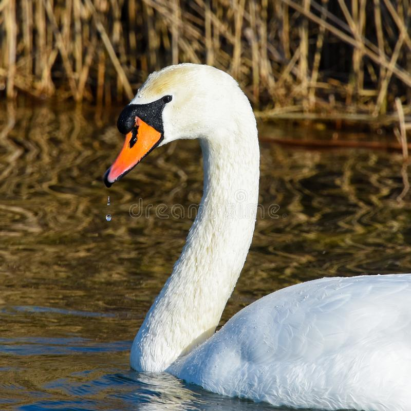 Sluit omhoog gezichtsportret van een witte zwaan stock afbeelding