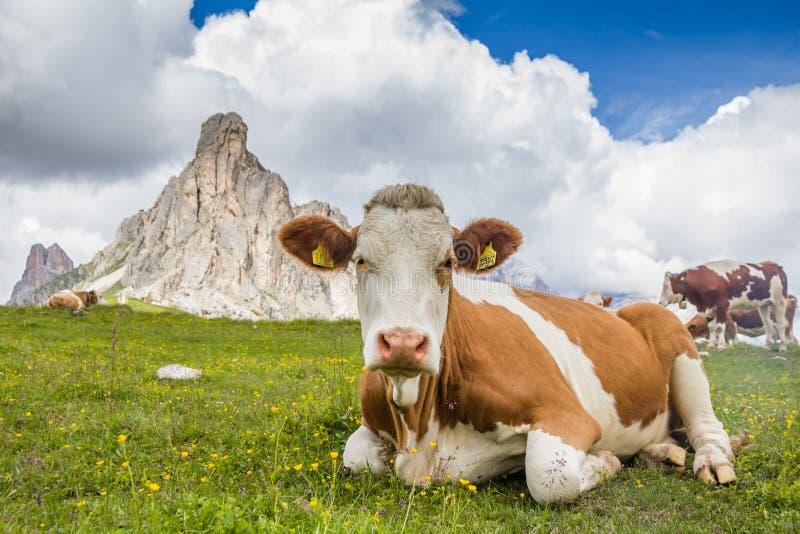 Sluit omhoog grappige lage hoekmening van een koe met spectaculair berglandschap bij pas Giau met Onderstel Gusela op de achtergr royalty-vrije stock foto