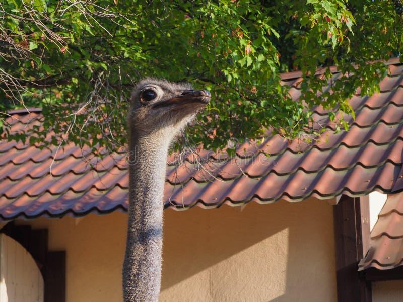 Sluit omhoog grijs van de struisvogelhoofd en hals camelus vrouwelijk portret van Struthio stock fotografie