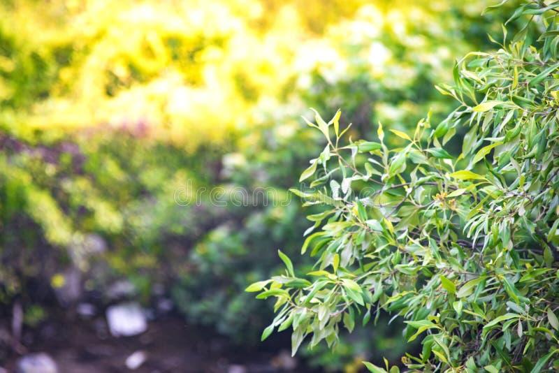 Sluit omhoog groen blad op achtergrond van boom de onscherpe bokeh in tuin van bosblad op een gebied met bladeren Het gebruiken v stock foto's