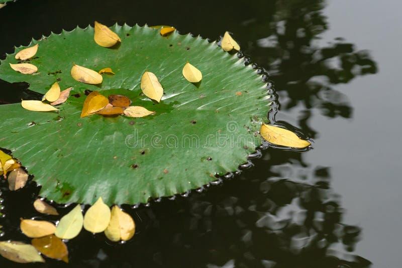 Sluit omhoog groot lotusbloemblad met gele dalingsbladeren op nog water r stock foto