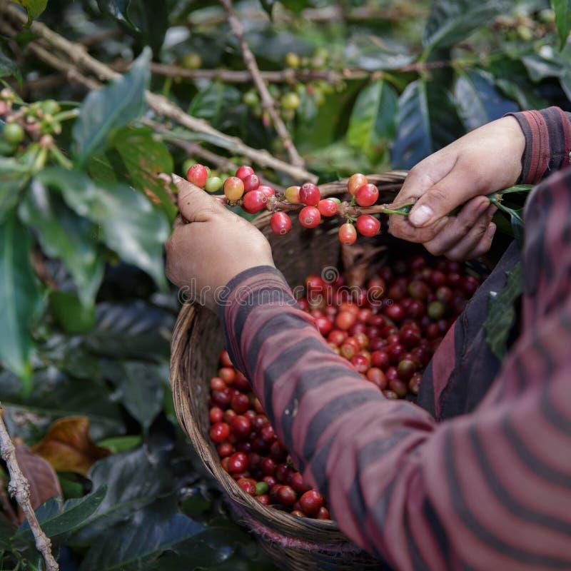 Sluit omhoog hand van landbouwers die tak van arabica plukken stock foto's