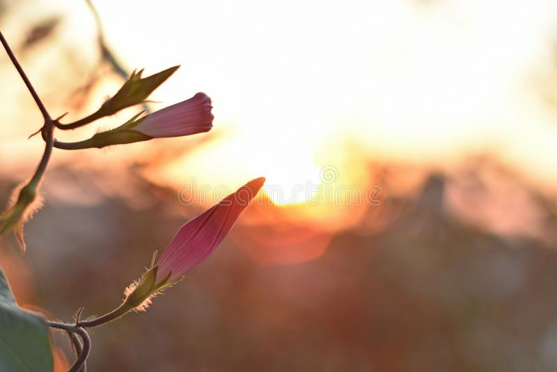 Sluit omhoog het bloeien Ochtendglorie en de dalingszonsondergang stock fotografie