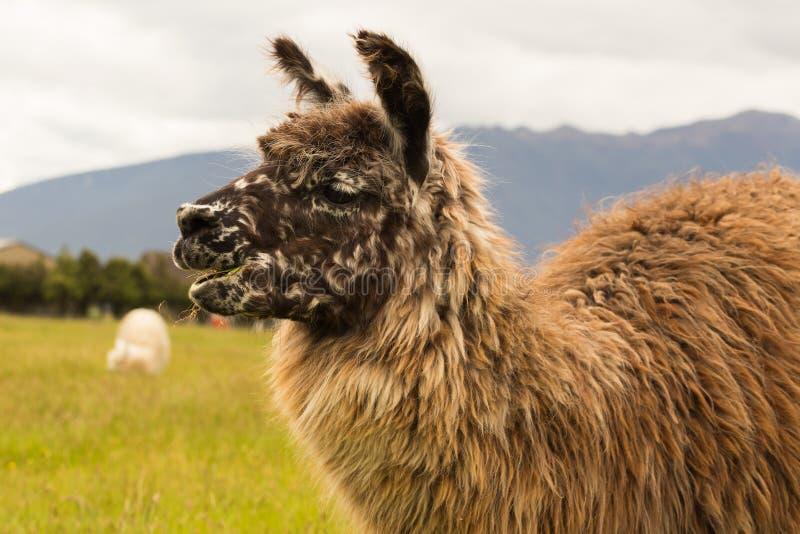 Sluit omhoog het bruine dier van het alpacalandbouwbedrijf royalty-vrije stock afbeelding