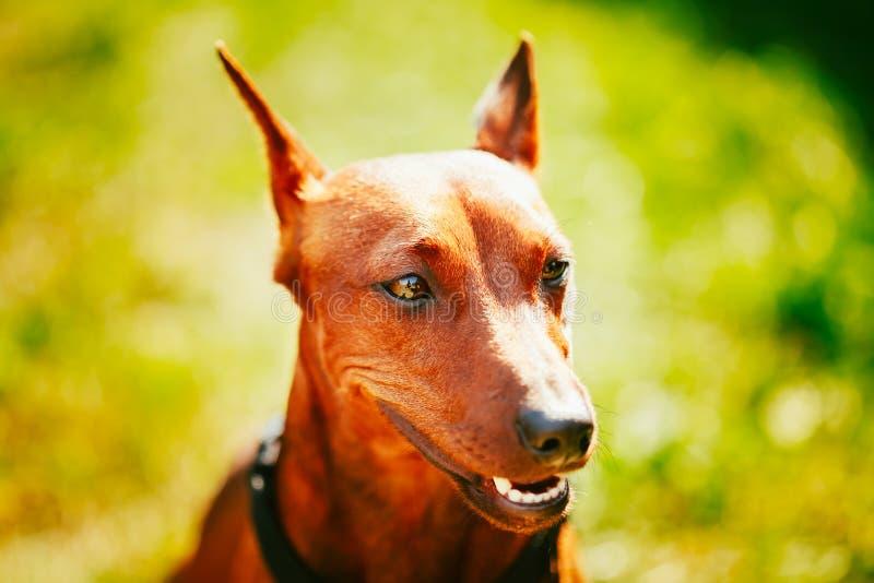Sluit omhoog het Bruine Hoofd van Hond Miniatuurpinscher royalty-vrije stock foto's