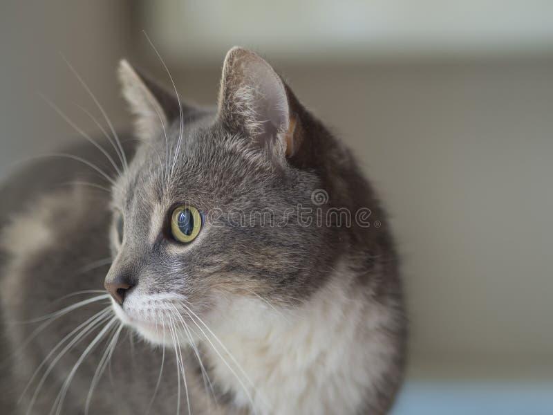 Sluit omhoog het leuke grijze Somalische kattenportret droevige kijken aan het recht royalty-vrije stock afbeeldingen
