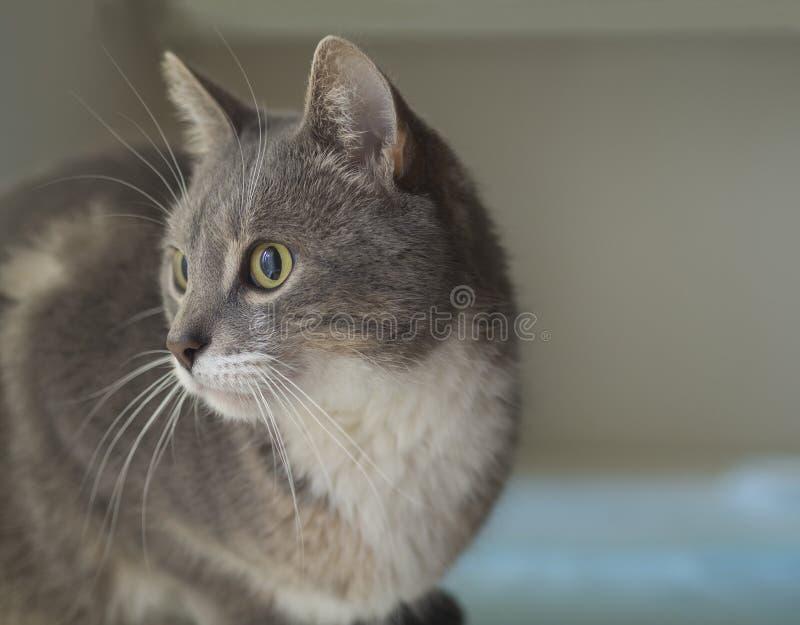 Sluit omhoog het leuke grijze Somalische kattenportret droevige kijken aan het recht stock foto
