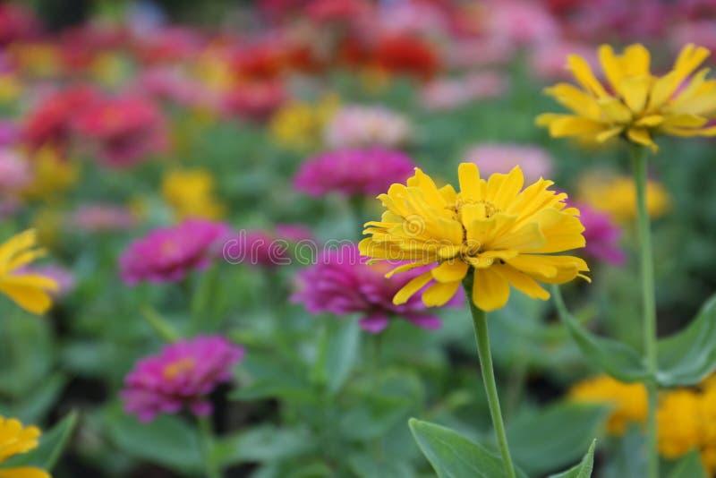 Sluit omhoog het mooie gele bloem bloeien en zacht zonlicht royalty-vrije illustratie