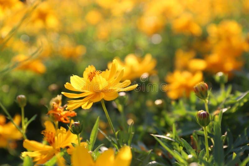 Sluit omhoog het mooie gele bloem bloeien en zacht zonlicht vector illustratie
