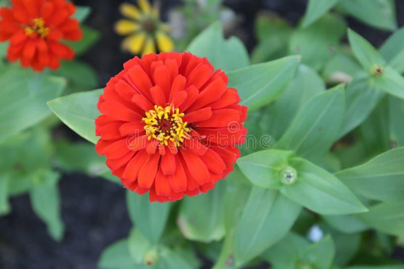 Sluit omhoog het mooie rode bloem bloeien en zacht zonlicht stock foto's