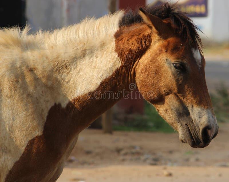 Sluit omhoog Hoofd van bruin met wit paard stock foto's