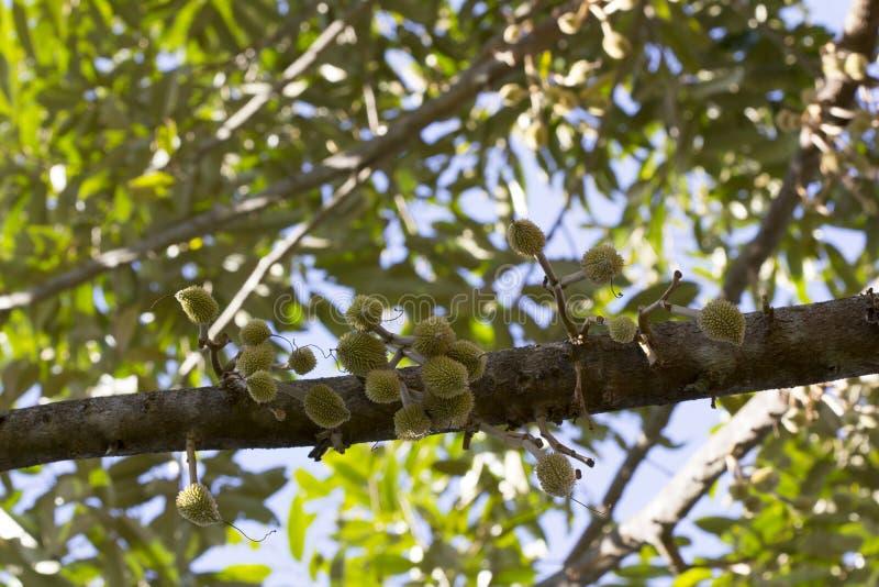 Sluit omhoog jong durian fruit is vers op de boom, Durian-is de boom een speciale en nuttige installatie stock foto