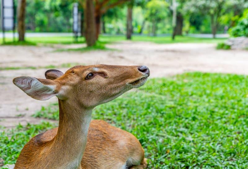 Sluit omhoog jonge herten rustend op gras in een park stock fotografie
