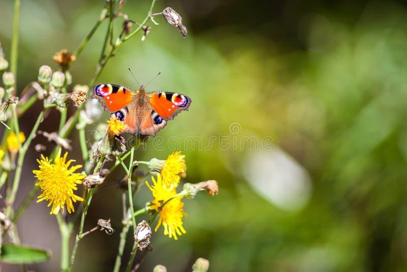 Sluit omhoog jonge machaon op gele bloem met plase voor tekst royalty-vrije stock foto