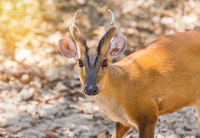 Sluit omhoog jonge ontschorsende herten Muntiacus muntjak royalty-vrije stock foto's