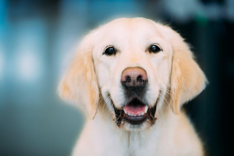 Sluit omhoog Jonge Witte Labradorhond stock fotografie